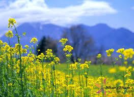 Phú Yên - Xứ sở hoa vàng trên cỏ xanh